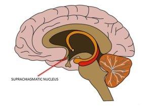 suprachiasmatic-nucleus